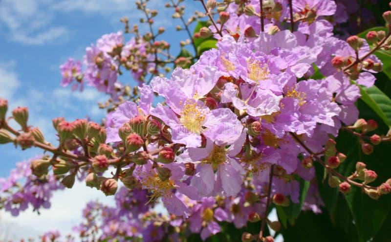 Natureza cor-de-rosa da beleza das flores em Tailândia sul foto de stock