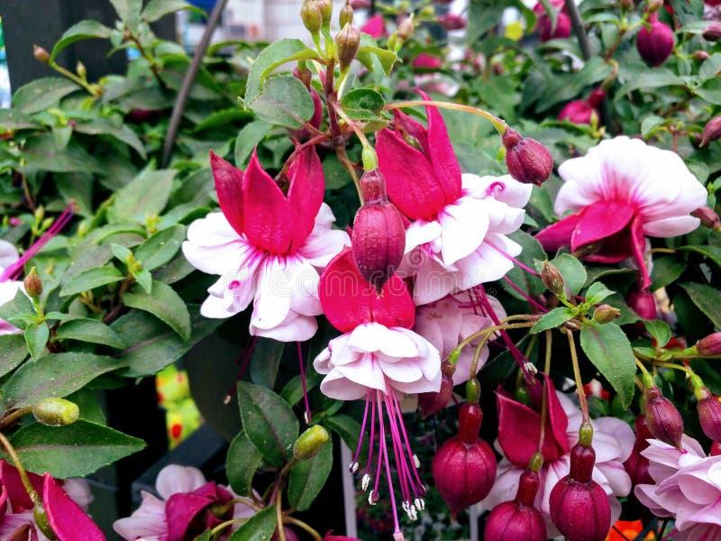 Natureza cor-de-rosa do jardim da planta da flor fotografia de stock