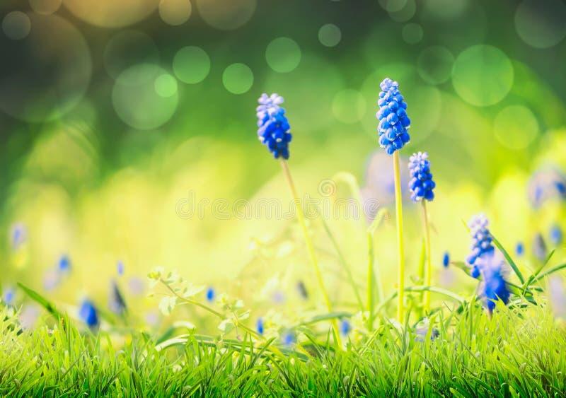 Natureza da mola com as flores azuis selvagens do jacinto na grama no fundo borrado da natureza com bokeh Dia ensolarado da prima foto de stock royalty free