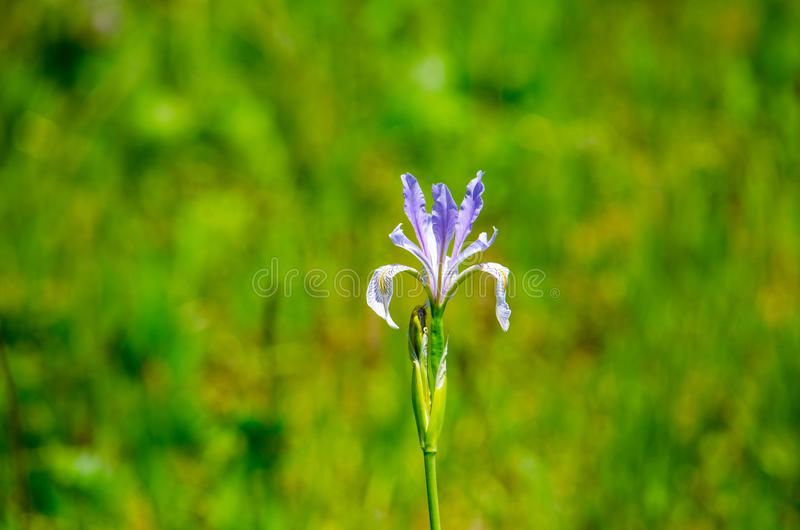 Natureza da mola do papel de parede do fundo da flor roxa micro foto de stock royalty free