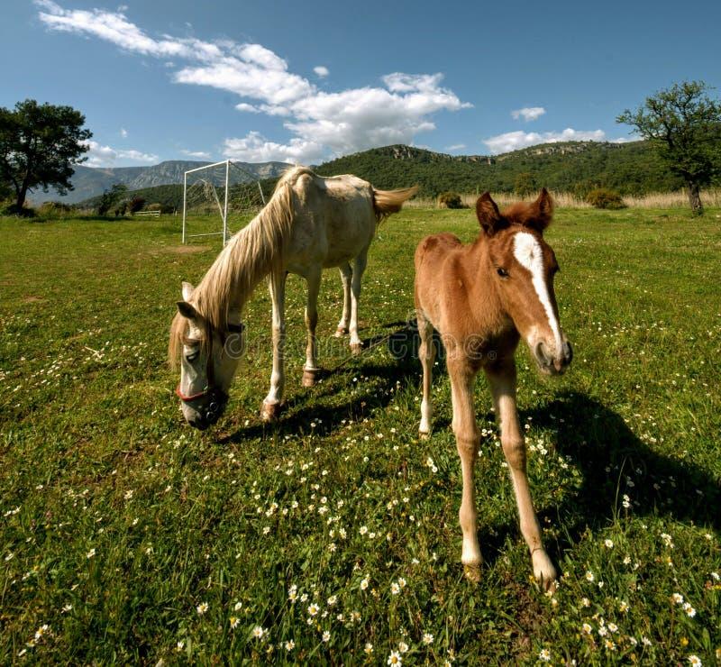 Natureza da mola da nutrição do prado do potro do cavalo fotos de stock