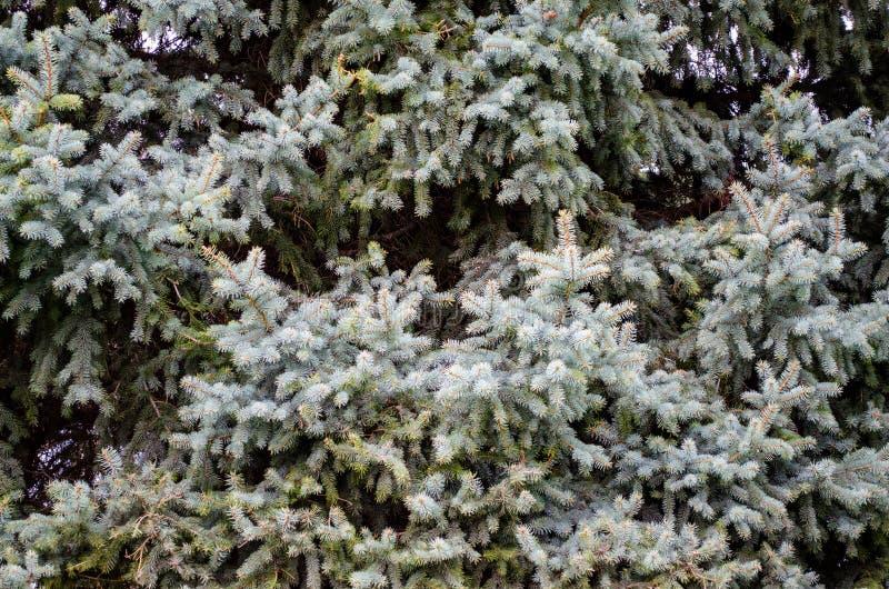 Natureza da textura do papel de parede do fundo do pinho do abeto dos ramos de árvore fotografia de stock royalty free