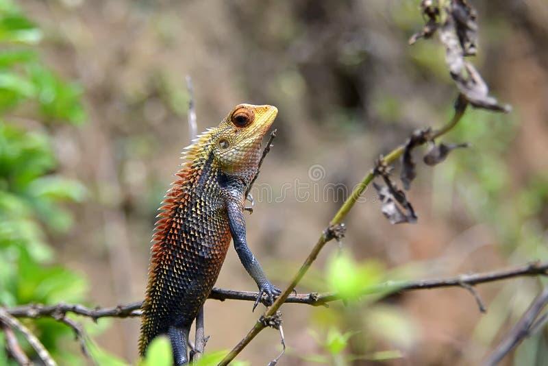 Natureza de assento e de observação do camaleão pequeno fotografia de stock