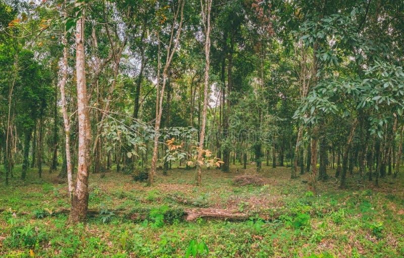 A natureza de Tailândia Brasiliensis da hévea imagem de stock