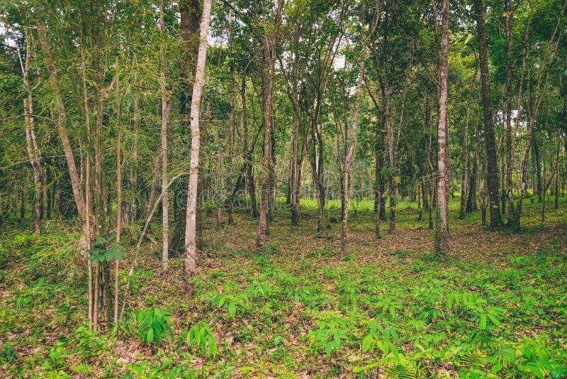 A natureza de Tailândia Brasiliensis da hévea foto de stock royalty free