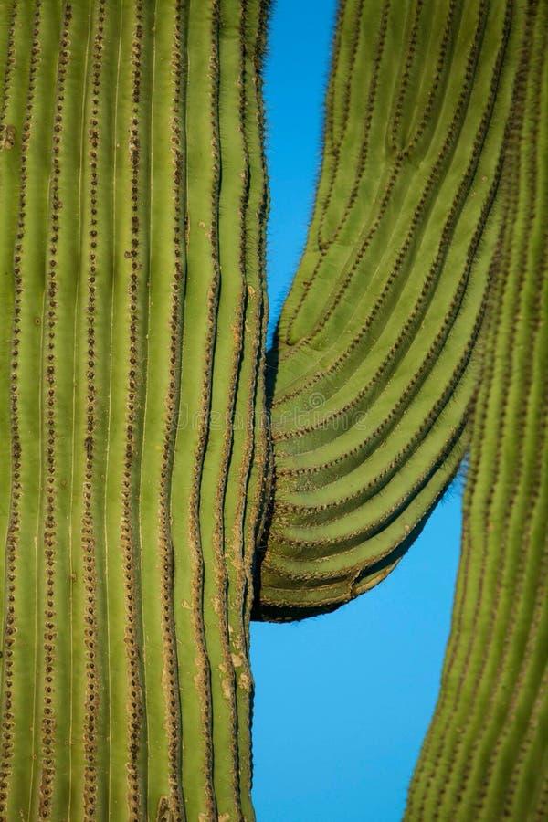 Natureza do Arizona do cacto do close-up imagens de stock royalty free