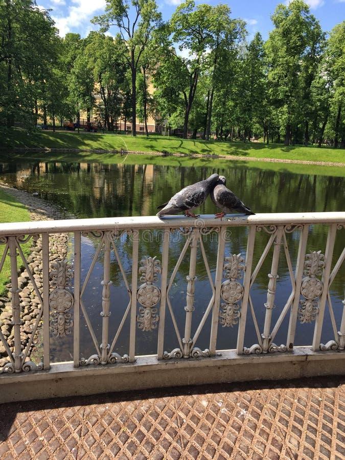 natureza do beijo dos pares da pomba dos pássaros fotos de stock royalty free
