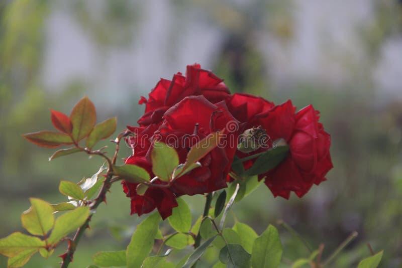 Natureza do jardim de rosas da flor imagem de stock