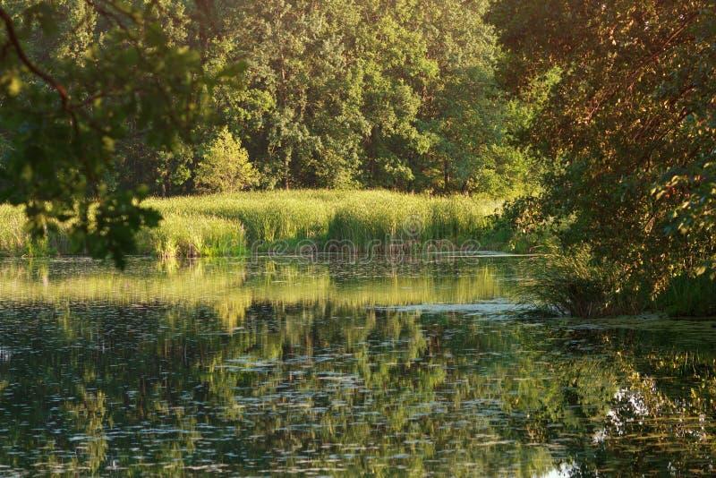 Natureza do verão com o lago tranquilo da lagoa na floresta imagem de stock