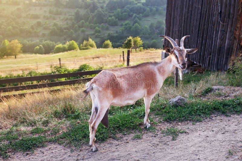 Natureza e ambiente Cabra que pasta no campo verde na exploração agrícola fotografia de stock