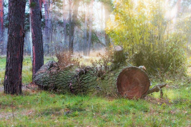 A natureza fantástica brilhante um grande log encontra-se contra um fundo de pinhos altos fotografia de stock