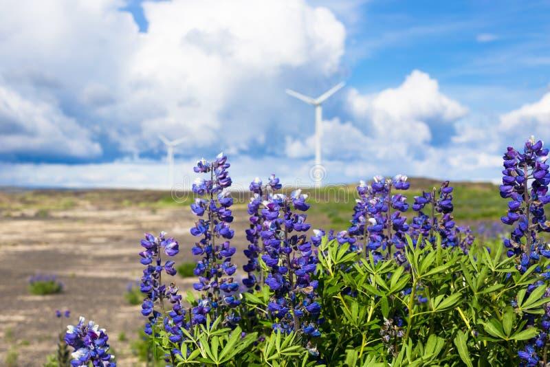 Natureza fantástica do lupine durante a viagem islandêsa em horas de verão foto de stock