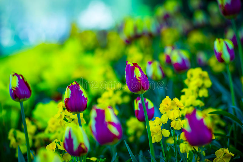 Natureza mágica dos lillies imagens de stock royalty free