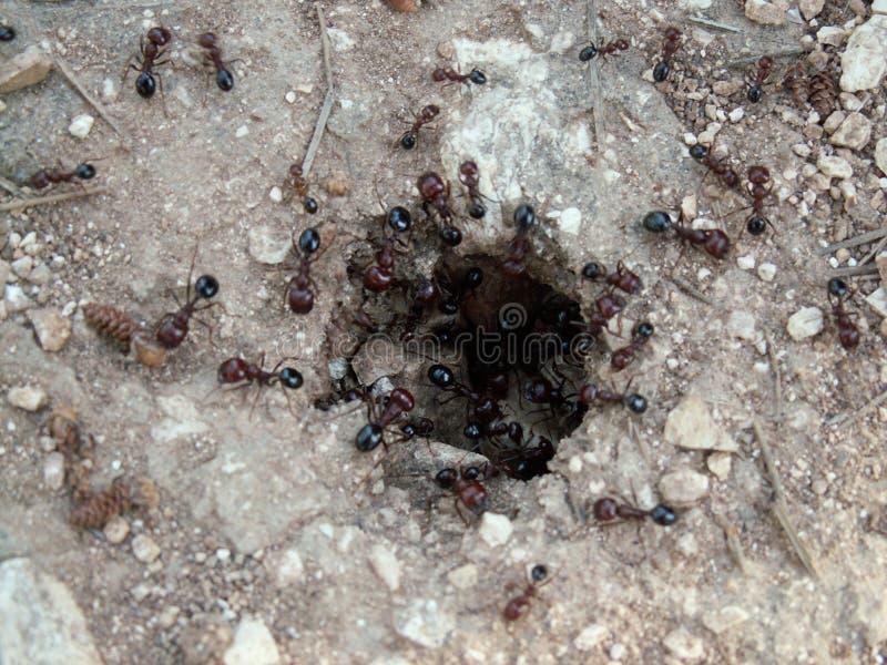 Natureza macro - formigas fotografia de stock royalty free