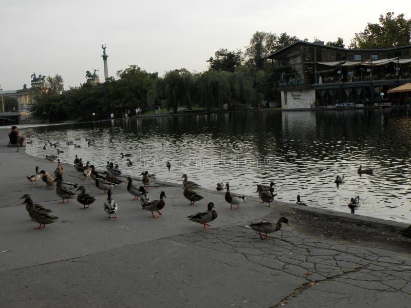 Natureza, pássaros, em Hungria foto de stock