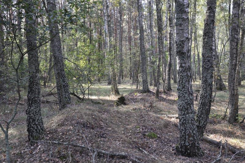 Natureza selvagem Floresta do vidoeiro no fim do verão foto de stock