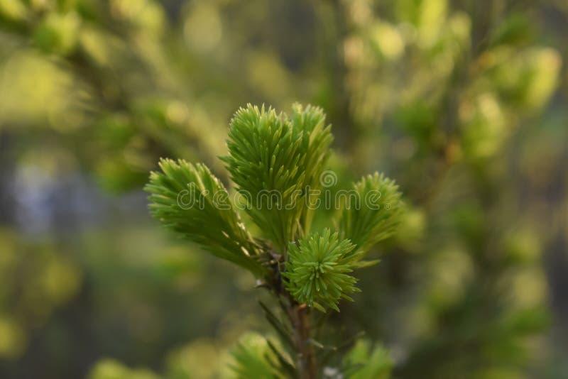 Natureza Siberian: galhos de nivelamento novos do abeto vermelho foto de stock