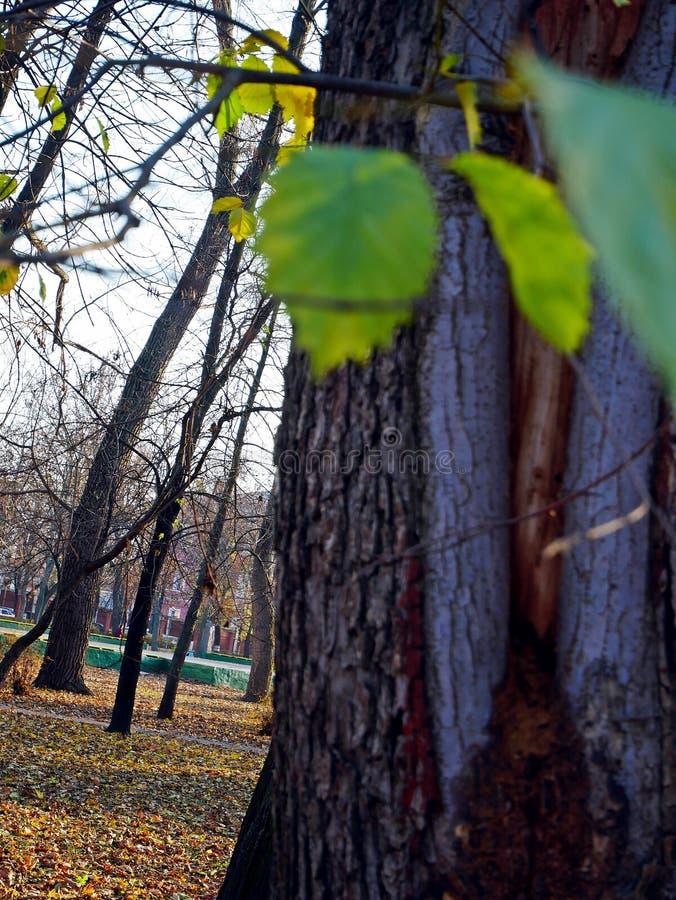 Natureza tímida azul dos pinhos da floresta das árvores foto de stock royalty free