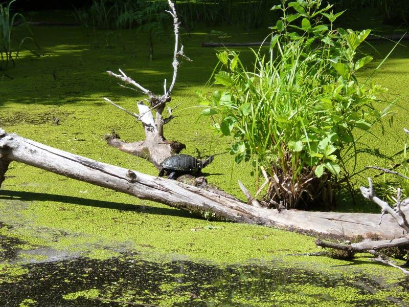 Natureza/tartaruga/lago fotografia de stock royalty free