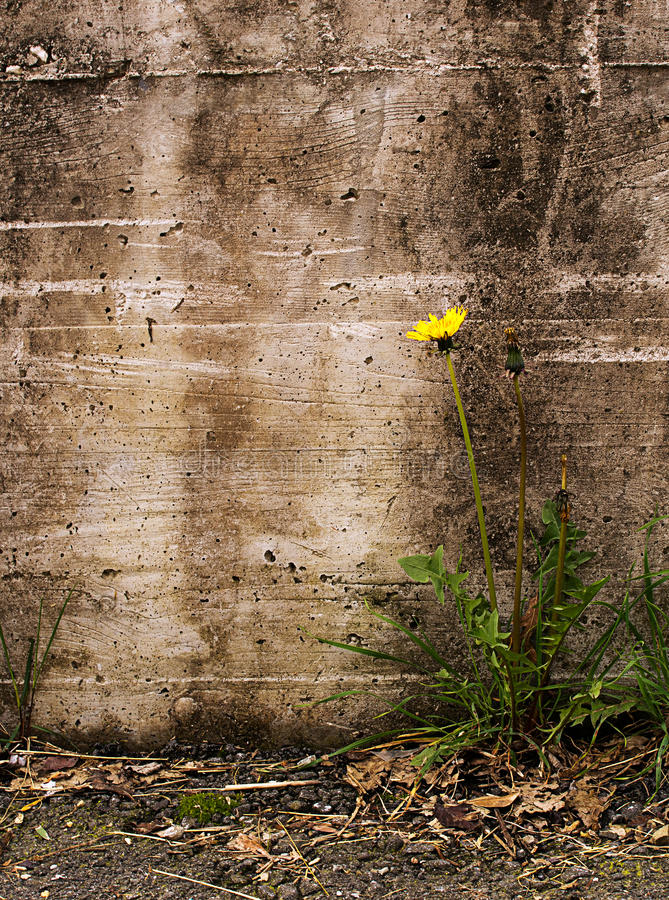 A natureza triunfa sobre a adversidade - dente-de-leão pela parede velha, Taraxac fotografia de stock