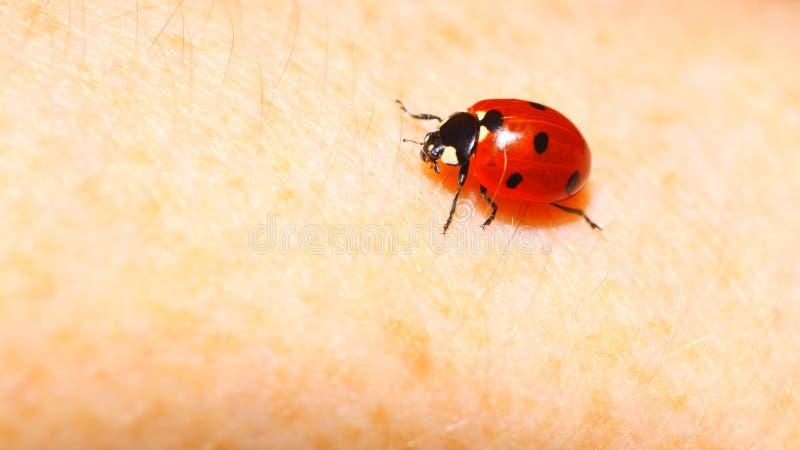 Naturfrühling des Marienkäfermarienkäfers an Hand lizenzfreie stockfotos