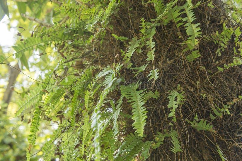 Naturgarten-Florakonzept des Farnlaubbaumgrüns natürliches lizenzfreies stockfoto