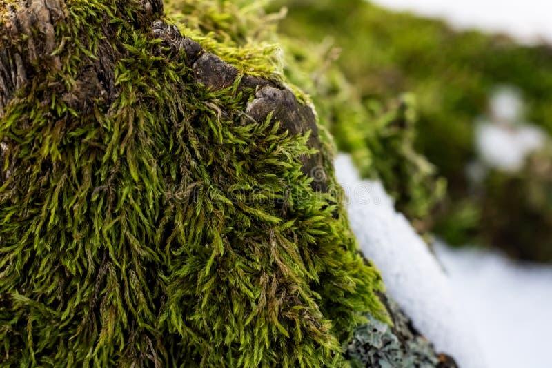 Naturgräsplanbakgrund, lav på mossa-fullvuxet yttersidaslut upp royaltyfri fotografi
