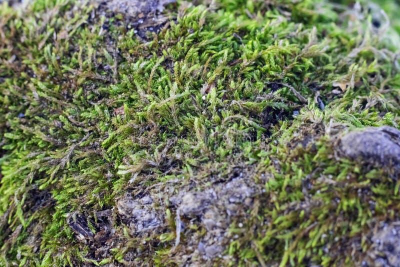 Naturgräsplanbakgrund, lav på mossa-fullvuxet yttersidaslut upp royaltyfria foton