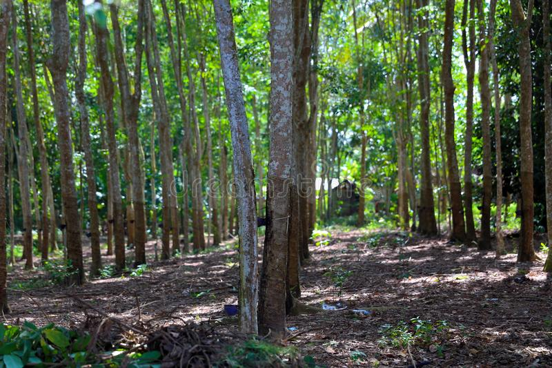 Naturgummi i indonesia royaltyfria foton