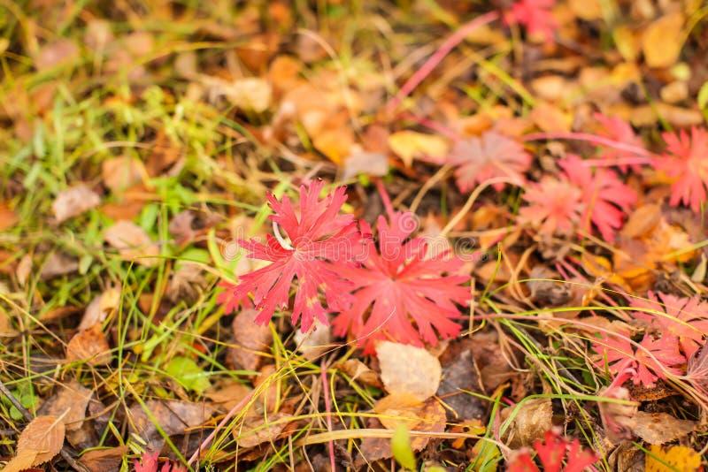 Naturhöstbakgrund med röd lövverk i grunt djup av fältet royaltyfria bilder