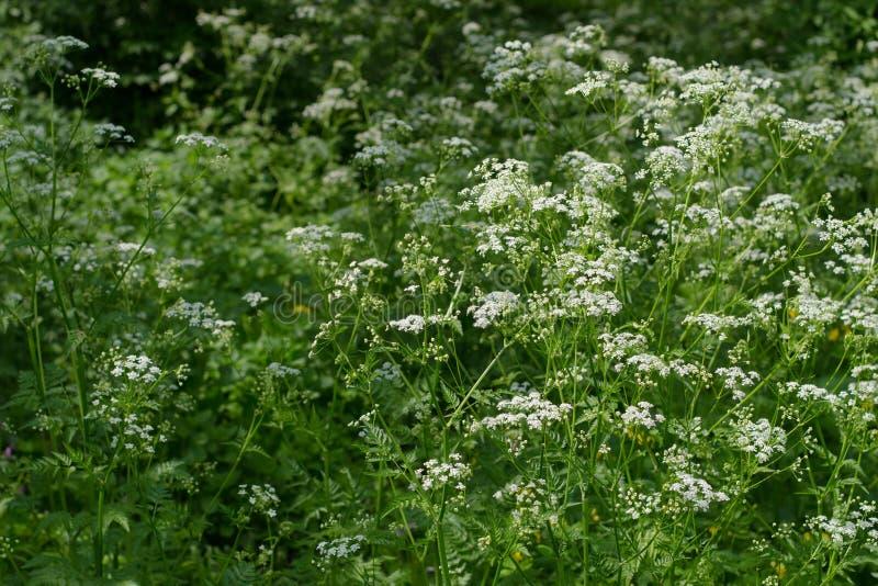 Naturhintergrund mit weißen Wildflowers und Gras Wilde Petersilie Umbelliferae Sonniger Sommertag Bl?hende Wiese stockfotografie