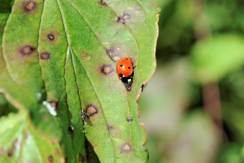 Naturinsektenmakrophotographiemarienkäfer stockbilder