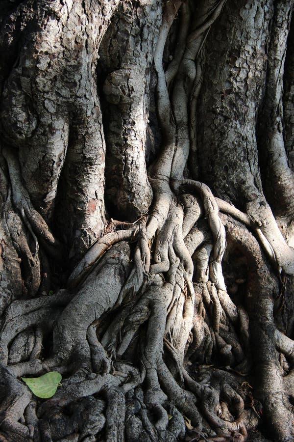 Naturkunst Bodhi-Baum-Wurzeln und Barke lizenzfreie stockfotos