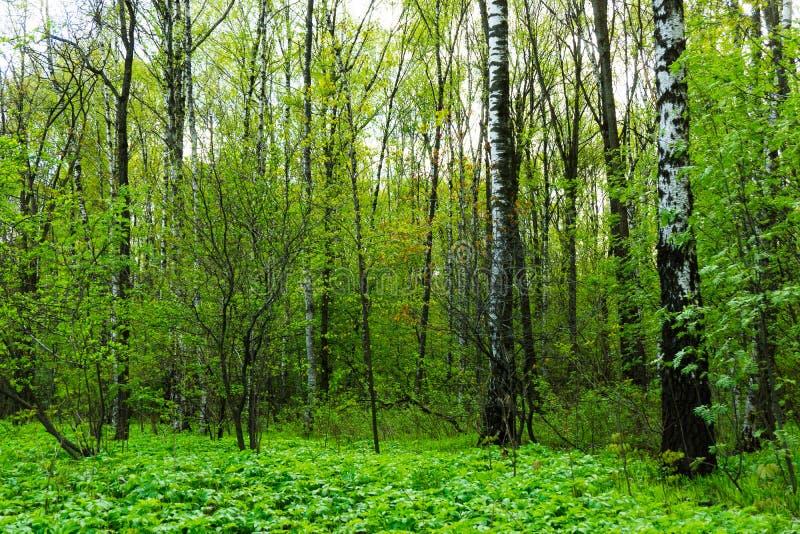 Naturlandskapsikt av en grön skogdjungel på vårsäsong med gröna träd och sidor Fridsamt stillsamt utomhus- landskap royaltyfri fotografi