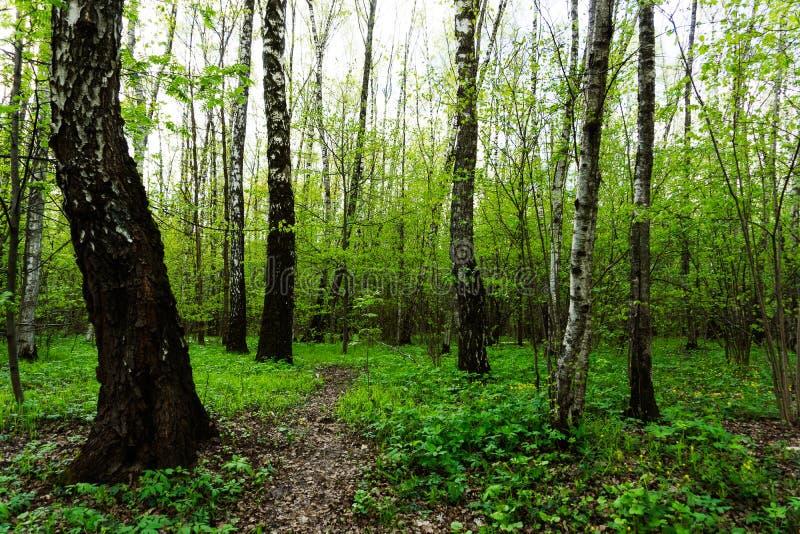 Naturlandskapsikt av en grön skogdjungel på vårsäsong med gröna träd och sidor Fridsamt stillsamt utomhus- landskap fotografering för bildbyråer