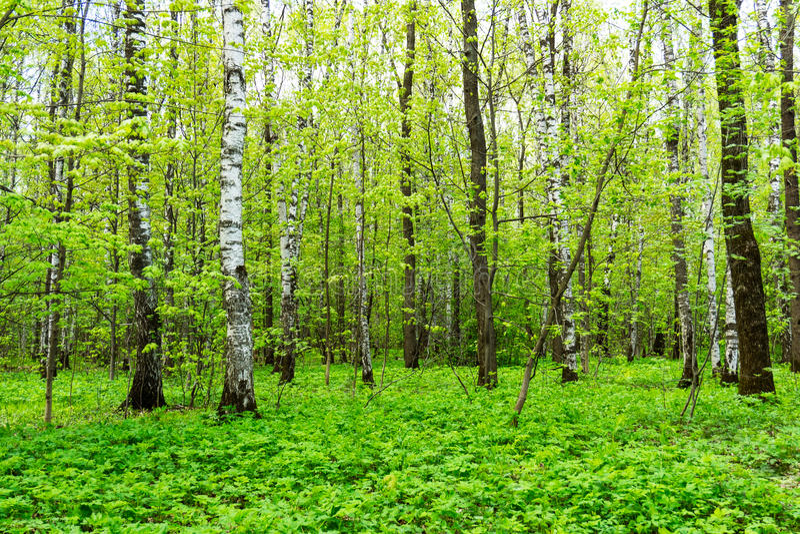 Naturlandskapsikt av en grön skogdjungel på vårsäsong med gröna träd och sidor Fridsamt stillsamt utomhus- landskap royaltyfria bilder
