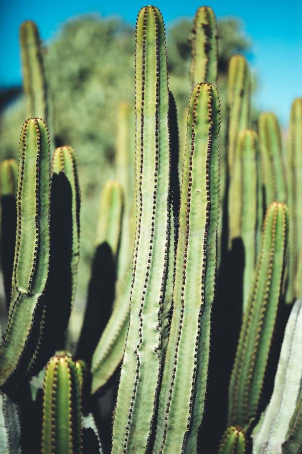 naturlig affisch kaktus closeup arkivfoto