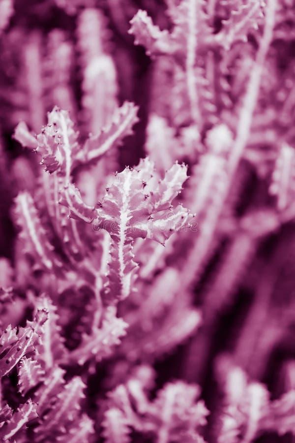 naturlig affisch kaktus closeup purpurt arkivfoton