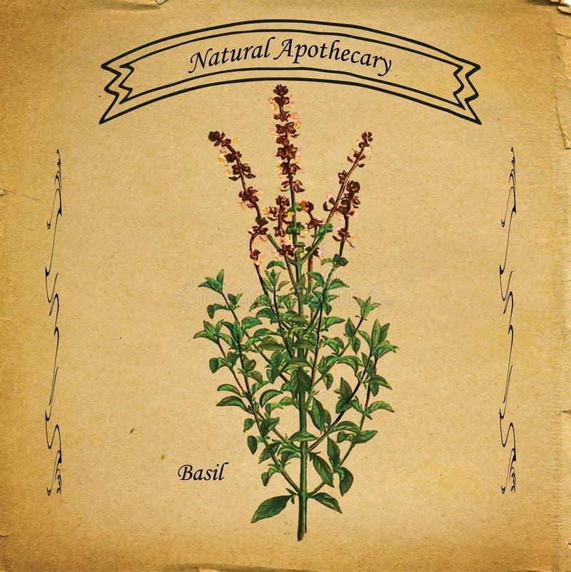 Naturlig apotekare Basil Plant vektor illustrationer