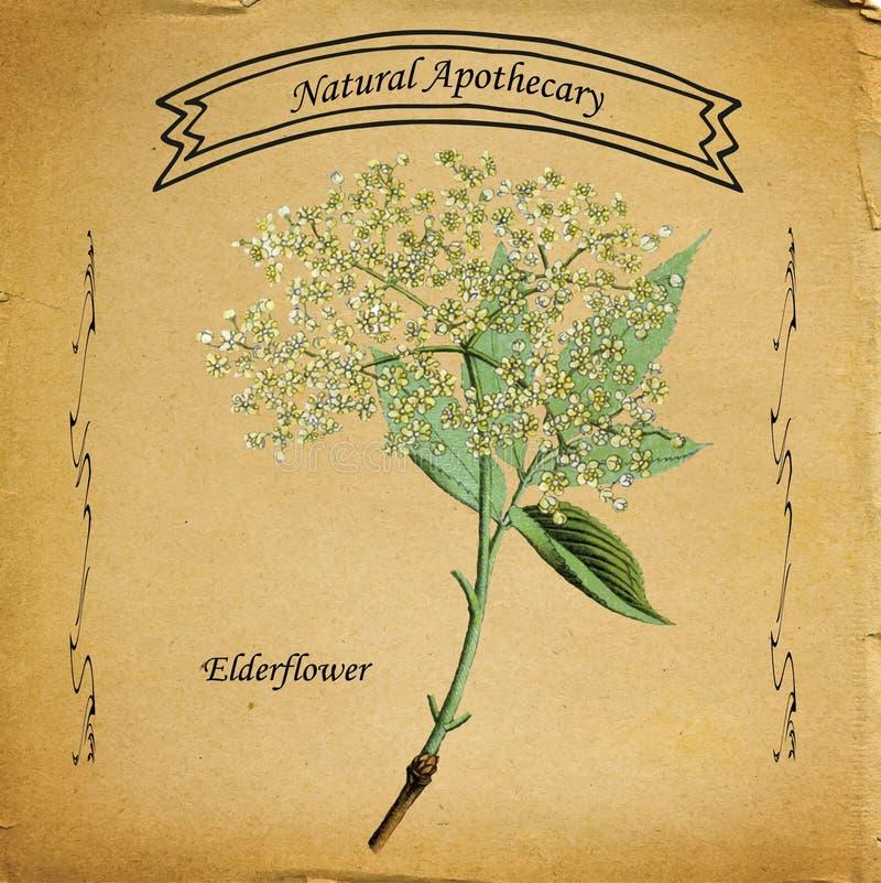 Naturlig apotekare Elderflower stock illustrationer