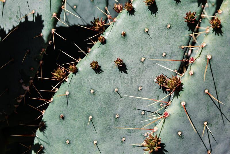 Naturlig bakgrund av kaktuns för taggigt päron som växer i öknen, USA arkivfoton