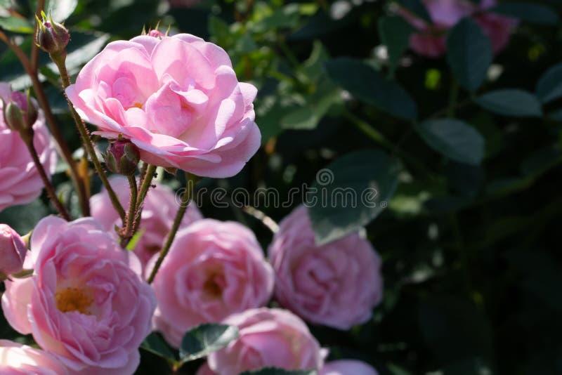Naturlig bakgrund Bild av rosa rosor på en filial i slut upp arkivfoton