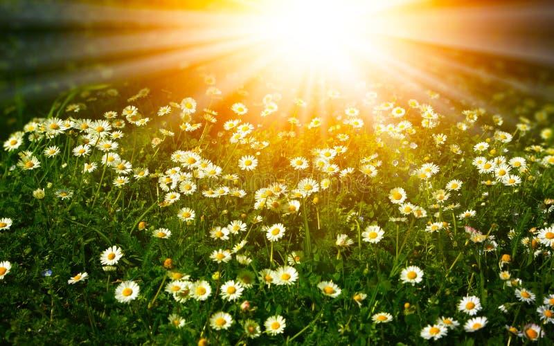 Naturlig bakgrund för ljus sommar med vita tusenskönor fotografering för bildbyråer