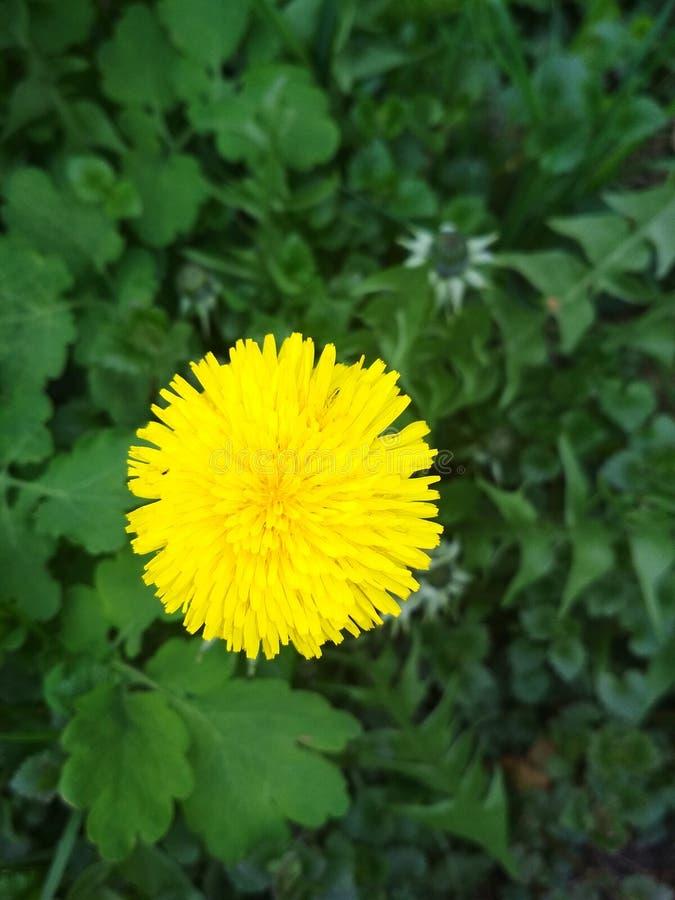Naturlig bakgrund, gul maskros arkivfoton