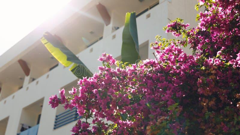 Naturlig bakgrund Härliga rosa blommor på trädet i de försiktiga strålarna av den varma solen arkivbild