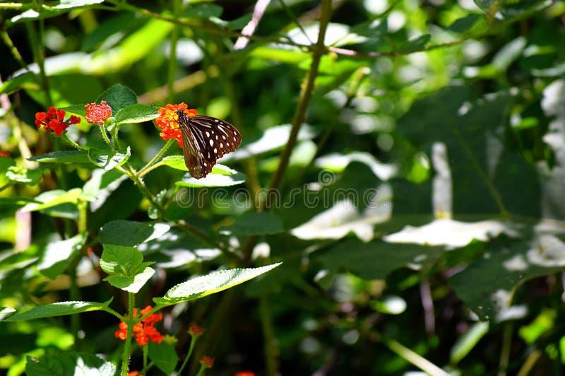 Naturlig bakgrund med grönska, blommor och en fjäril för mörk brunt med den vita modellen royaltyfri bild
