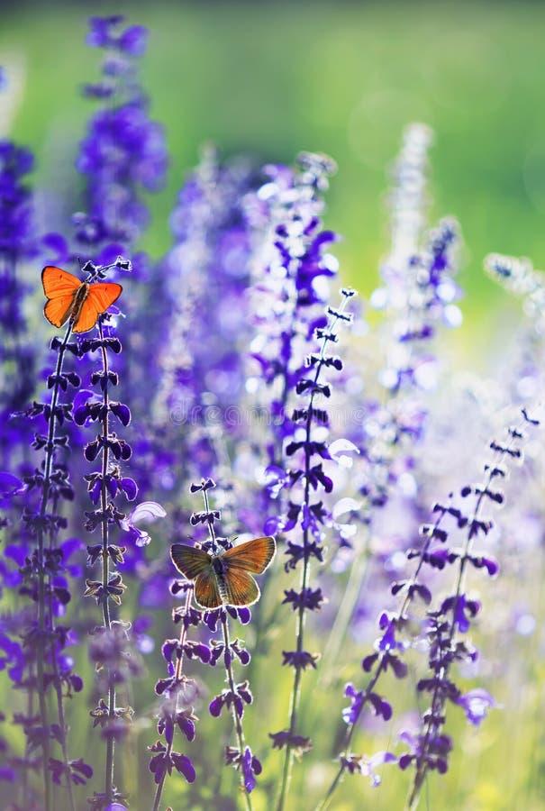 Naturlig bakgrund med liten ljus orange fjäril två slösar att sitta på purpurfärgade blommor i solig dag för sommar på en lantlig arkivfoto