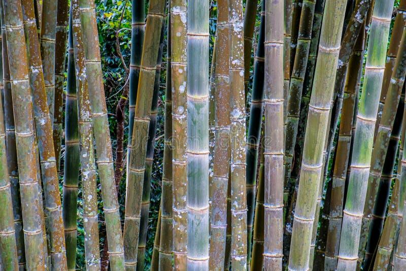 naturlig bambuskog royaltyfri foto