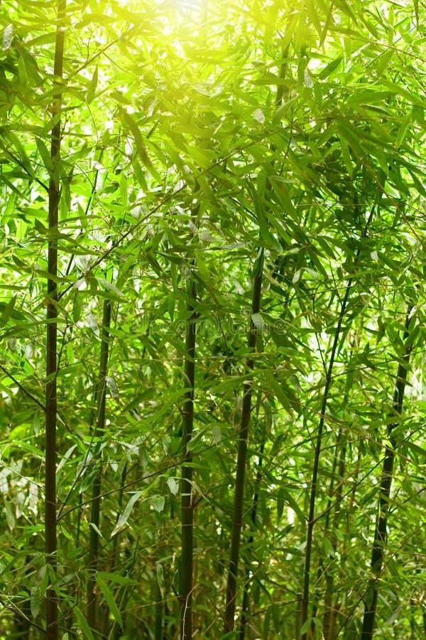 naturlig bambuskog fotografering för bildbyråer