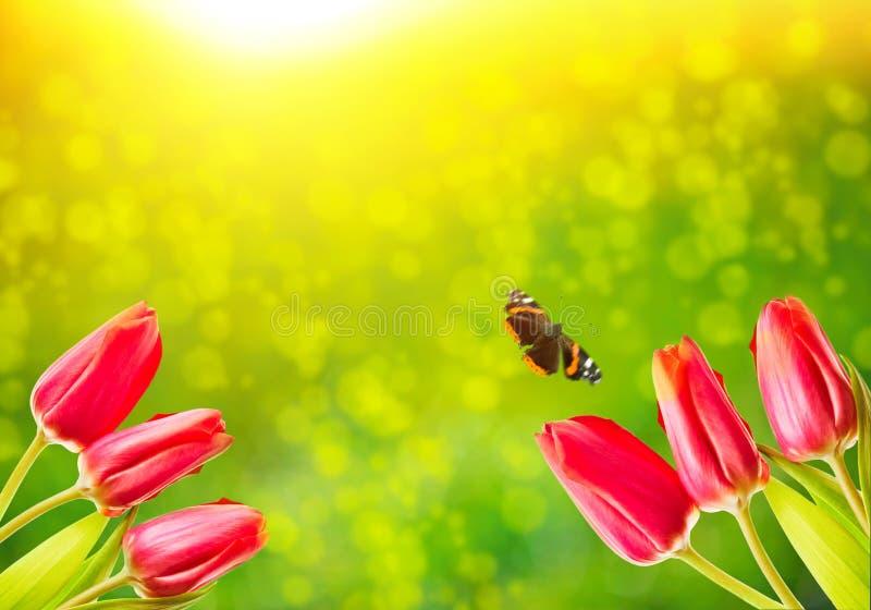 Naturlig bild för blom- vår av röda tulpanblommor med flygfjärilen mot grön bokehbakgrund med fritt utrymme drömlikt royaltyfria bilder